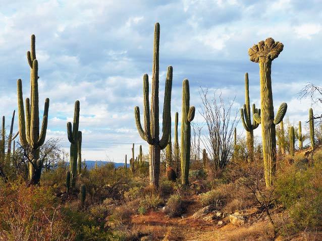Saguaro cacti at Saguaro National Park